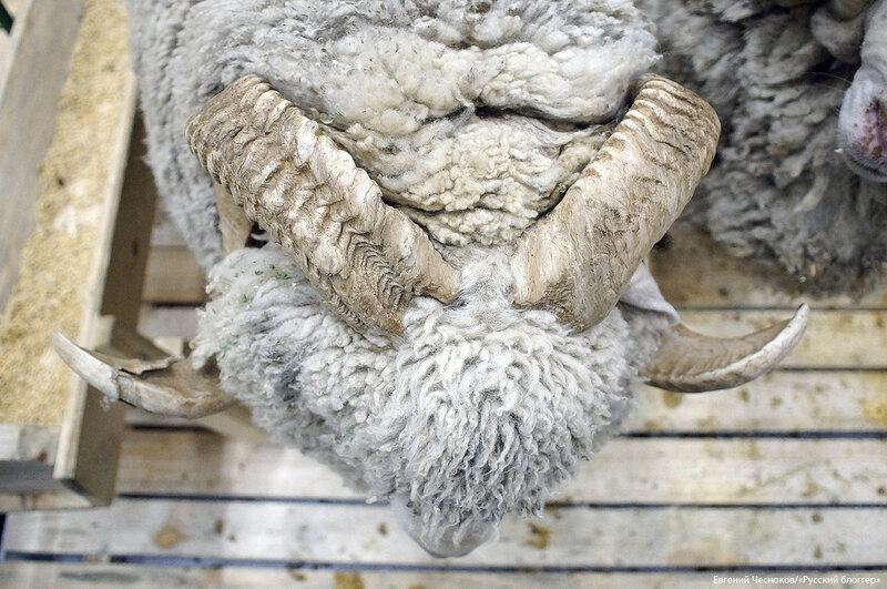 ВДНХ. Золотая осень. овцы. 03.10.17.02..jpg