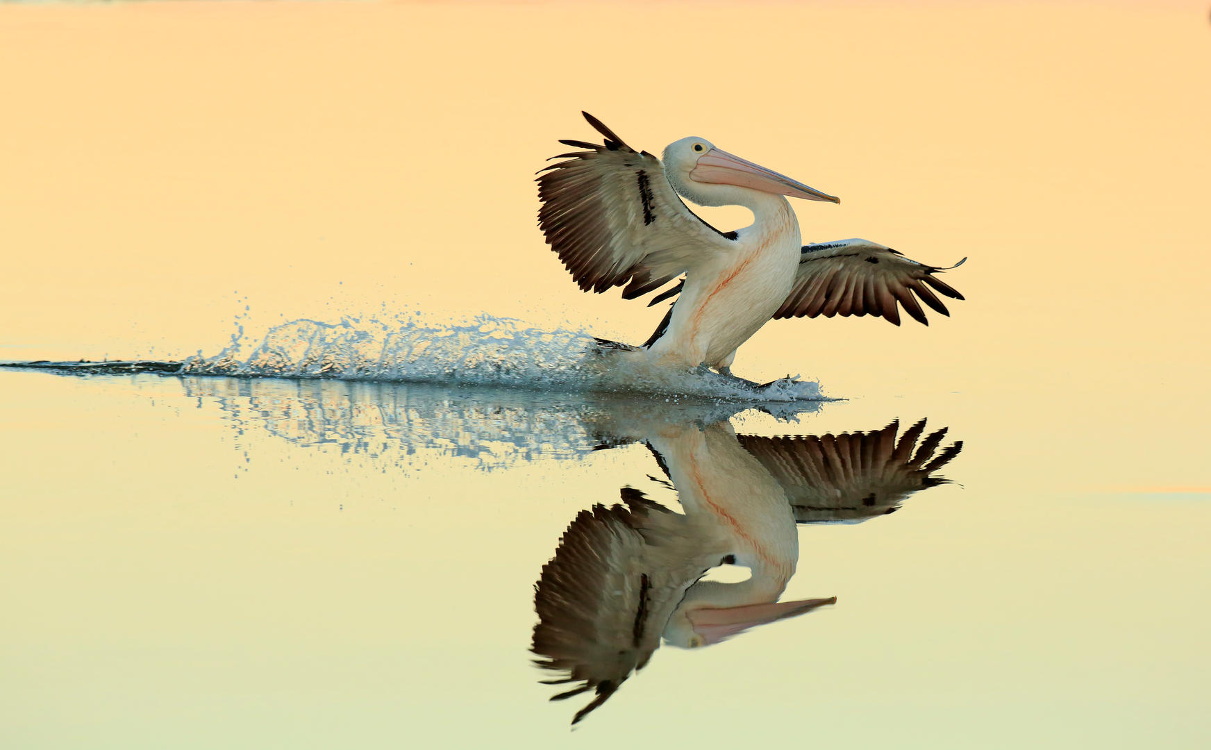 Birds in Flight, Gold. Australian Pelican landing on water by Bret Charman