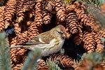 Обыкновенная чечётка, Carduelis flammea, Common Redpoll
