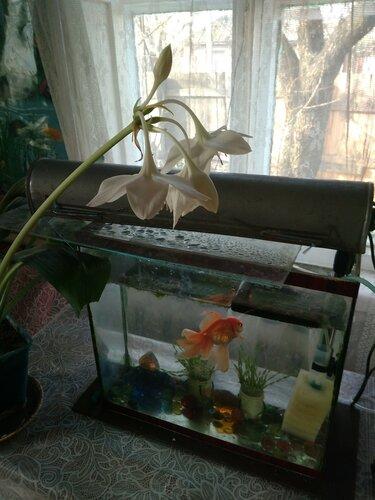Золотая рыбка и лилия