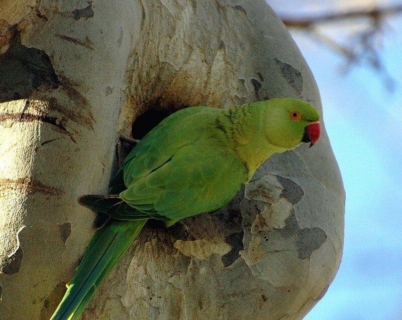 Гнездо попугая в платане