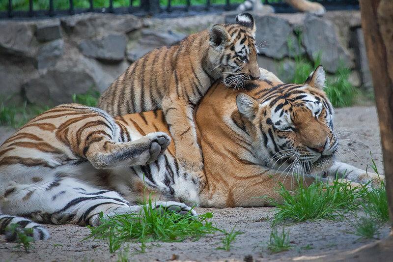 Могу любоваться и наблюдать бесконечно, но издалека!) Амурский тигр