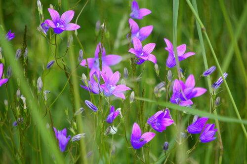 колокольчики мои цветики степные.....