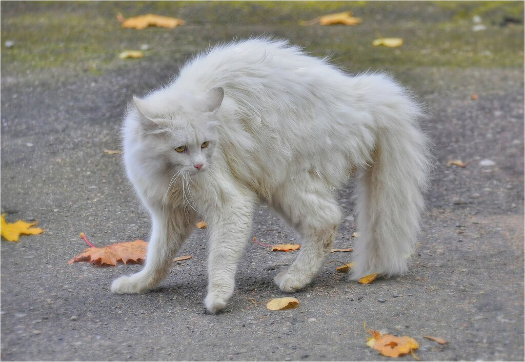 Кот от страха распушился...
