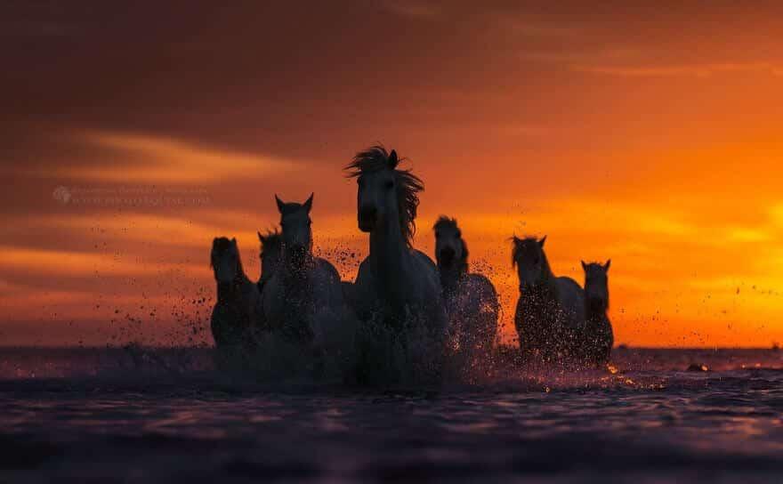 fotografij-loshadej-skachushhih-po-volnam-okeana-foto-6.jpg