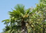 Плодоношение веерной пальмы