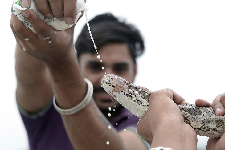 Согласно лунному календарю, змеиный фестиваль Nag Panchami приходится на 5-й день священного ме