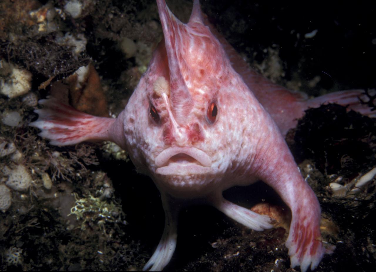 В Австралии нашли редкую рыбу-лопату, которая ходит по дну лапами (2 фото)