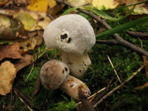 Гипомицес золотистоспоровый (Hypomyces chrysospermus) на моховике Автор фото: Станислав Кривошеев