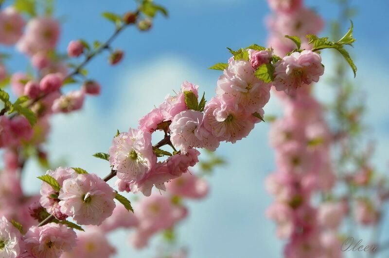 Веточка весны цветущей