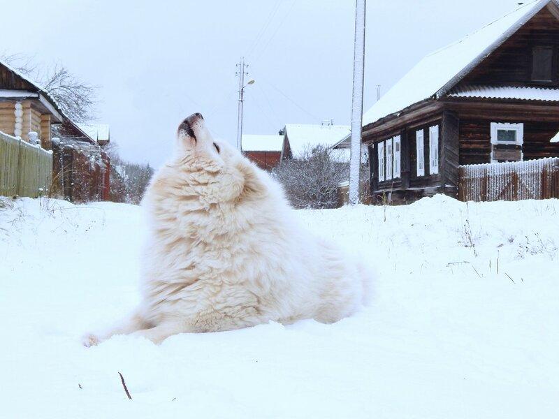 Солист больших и малых снегов