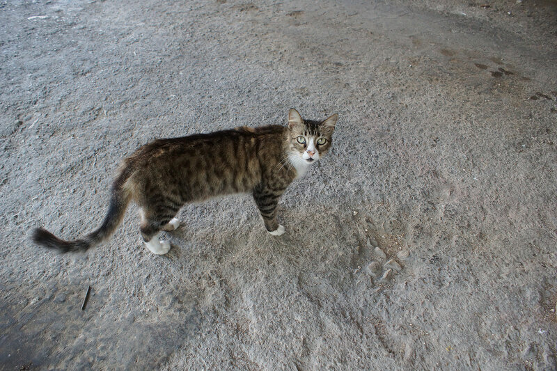 Котики Гаваны