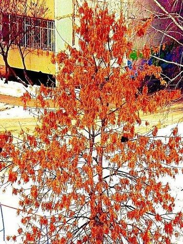 Мохнатое дерево в моем дворе похоже на линяющего верблюда