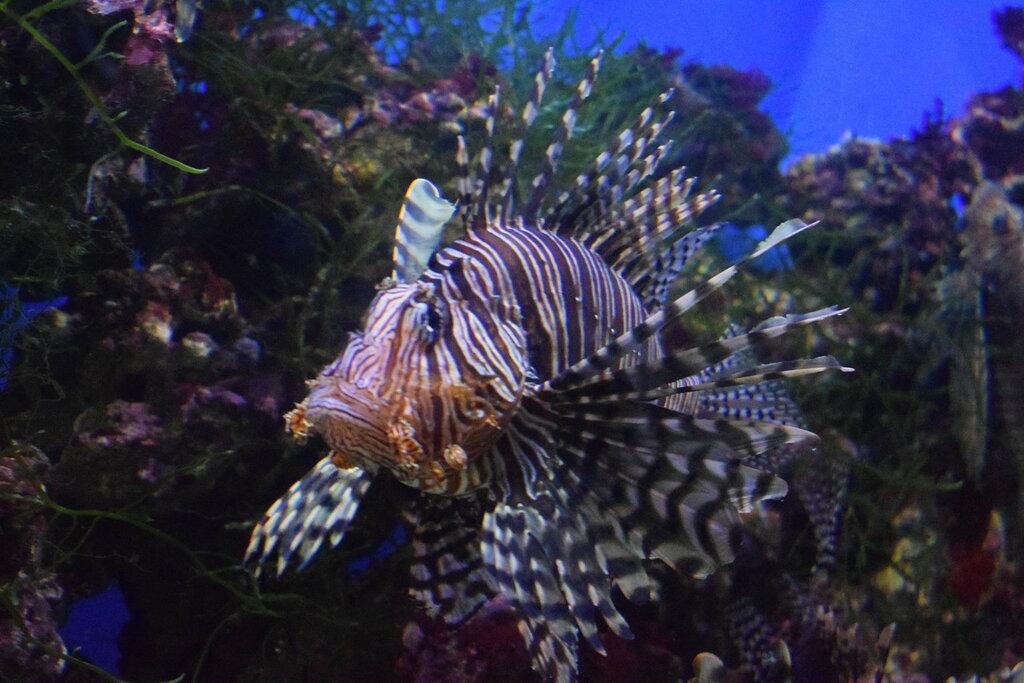 Эта красавица - рыба-зебра, или крылатка (Pterois volitans) из семейства скорпеновых.
