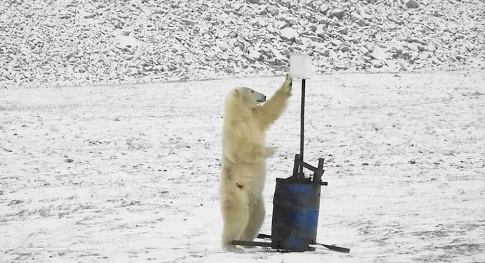 Белый медведь попытался сделать селфи