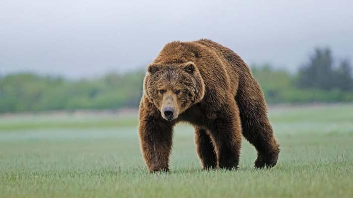 медведь в Канаде