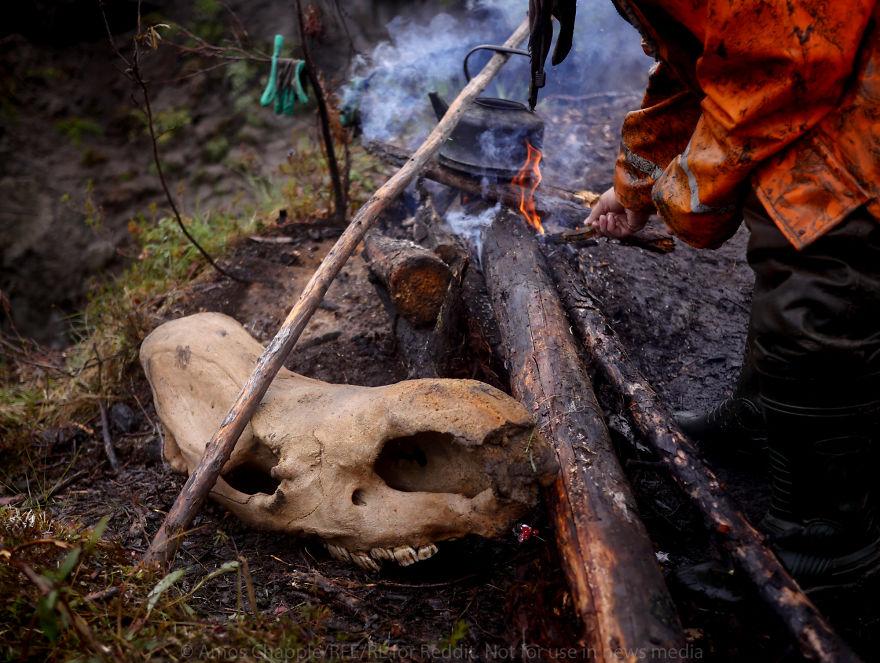 А этот череп, приспособленный для подставки под чайник, принадлежал шерстистому носорогу, которые вы