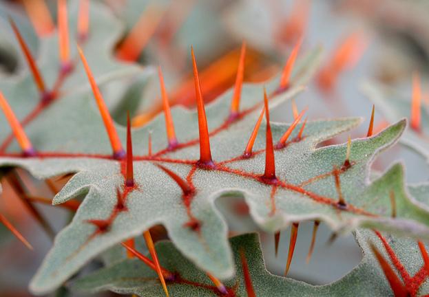 Кажется, что иголки этого растения вбирают всю кровь тех, кто когда-то оних укололся. Ивиглах, и