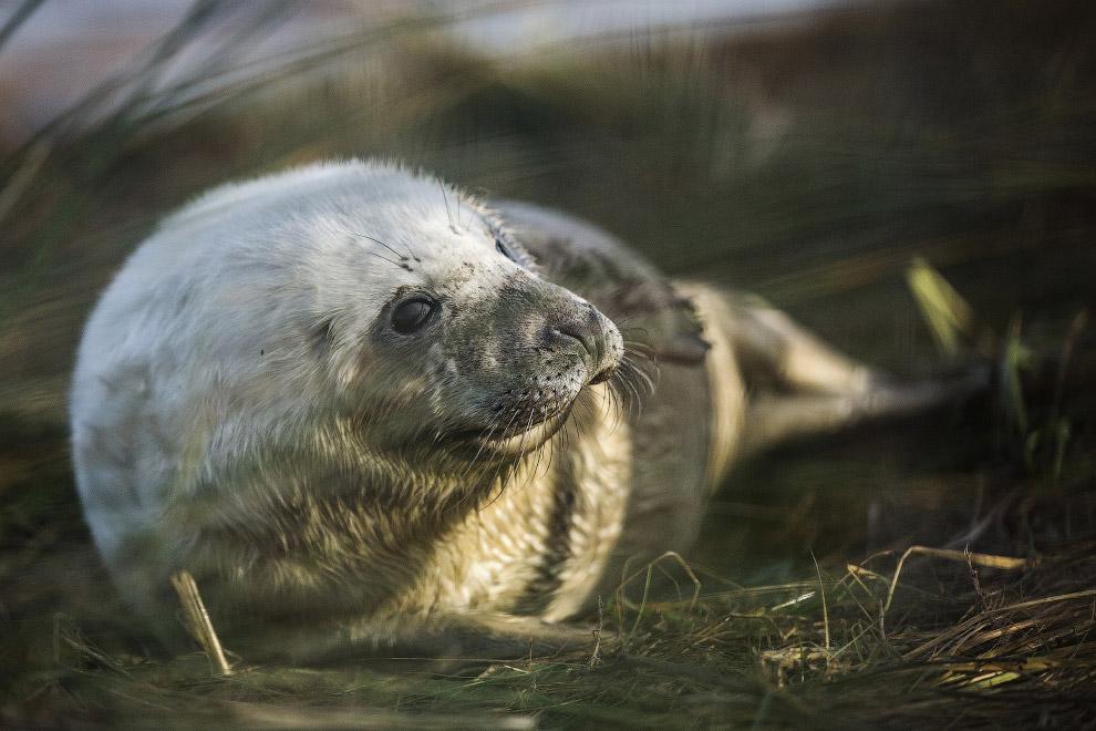 7. А эта местная колония серых тюленей является самой большой и наиболее доступной в материковой Анг