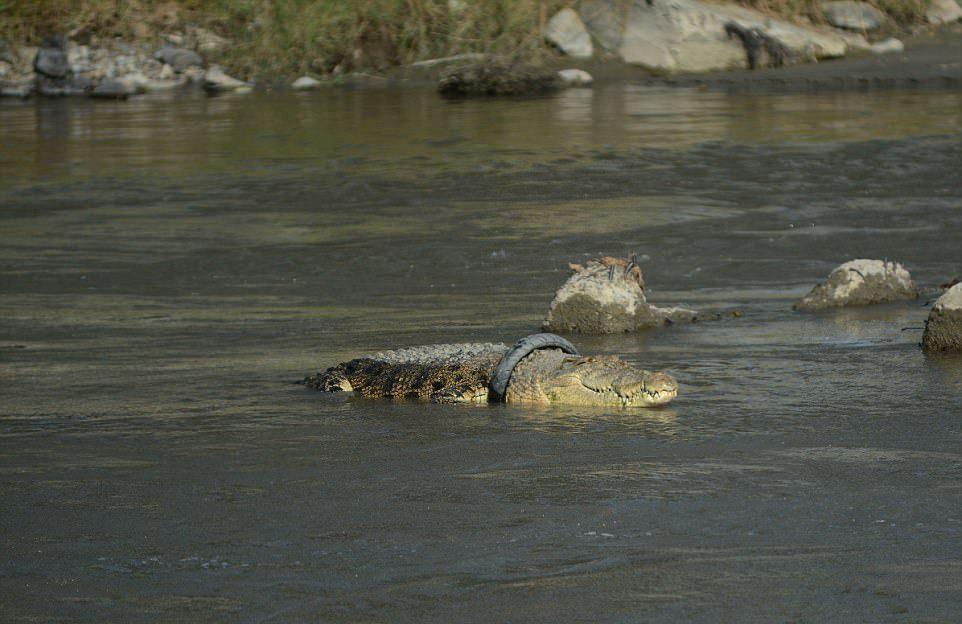 Рептилия третий год живет с удавкой на шее (4 фото)