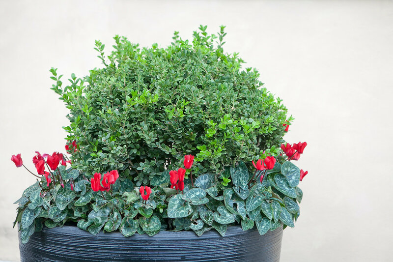 the Boxwood, bordered with beautiful cyclamens in a large tub, decorates the wall of the house