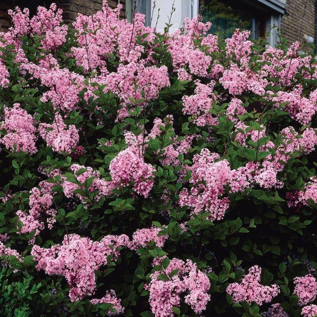 Редкие виды сирени - Syringa bloomerang (pink perfume)