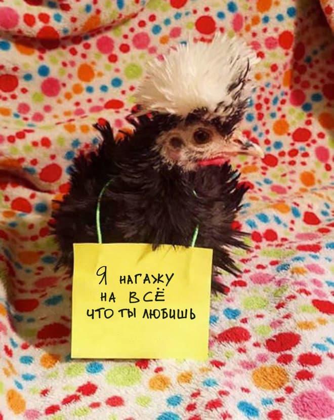 Шкодливые курицы, которые набрались смелости признаться в своих грехах (13 фото)