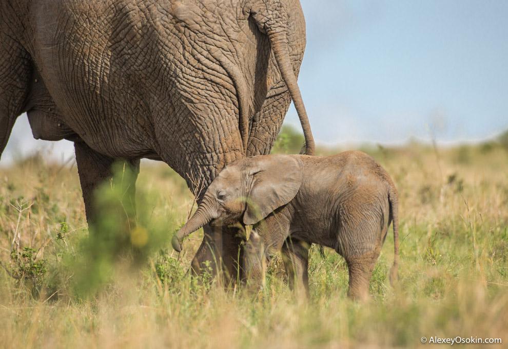 Кроме низкочастотного общения, слоны могут ногами передавать и получать сейсмические сигналы по