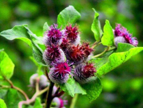 растения репейник фото