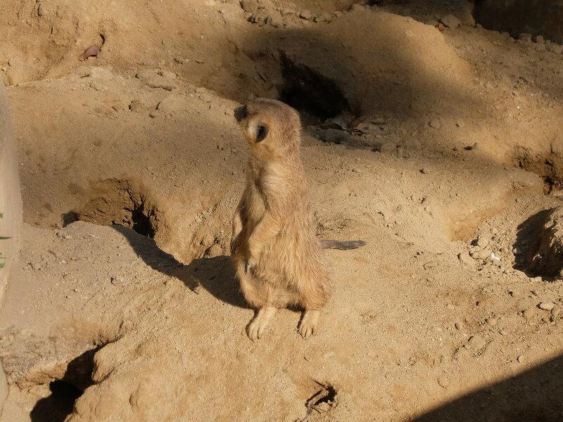 Чиангмай - Зоопарк - Сурикат наблюдает