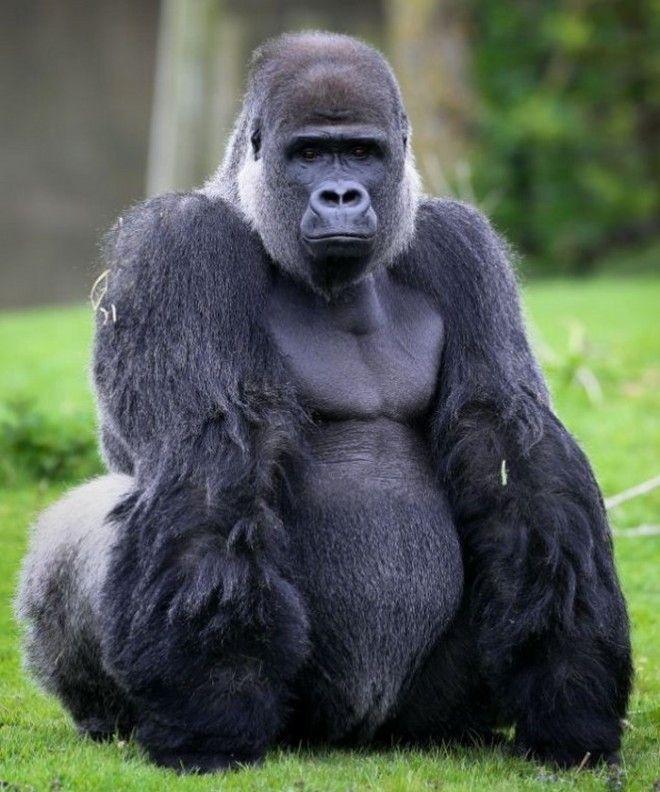 Очутившись в конфликтной ситуации, огромные приматы стремятся в первую очередь напугать противника,