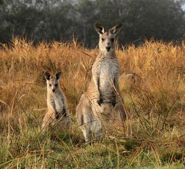 © deb talan     Если приближается опасность, кенгуру предупредит сородичей стуком