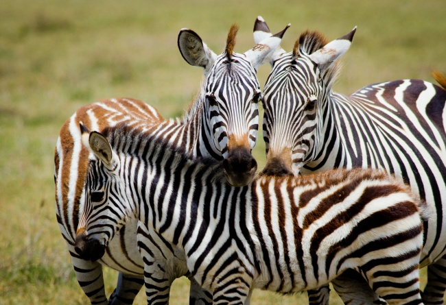 © Andrzej Kubik     Некоторые зебры образуют устойчивые пары навсю жизнь. Укаки