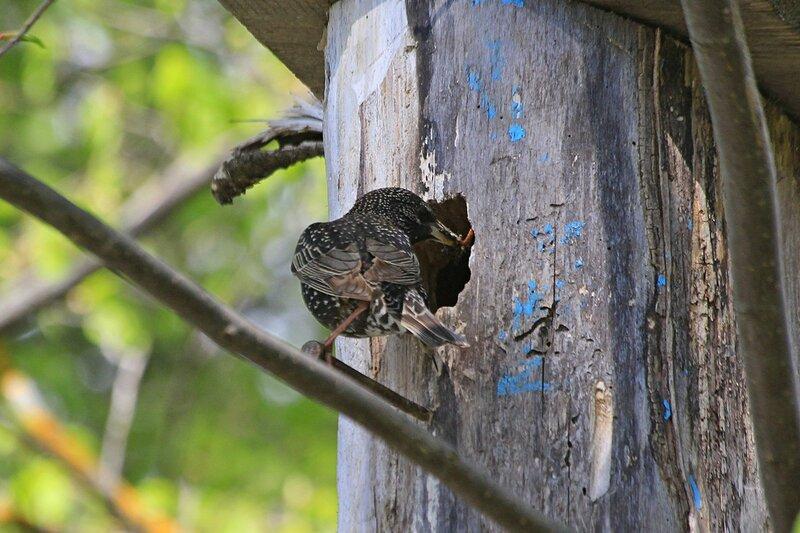 Скворец кормит мошками птенцов в скворечнике