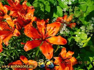 цветут лилии