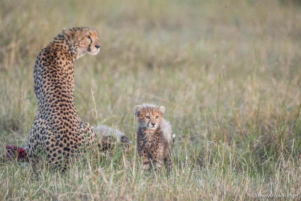 Бонус: охота гепарда.  Понравилась статья? Расскажи друзьям: