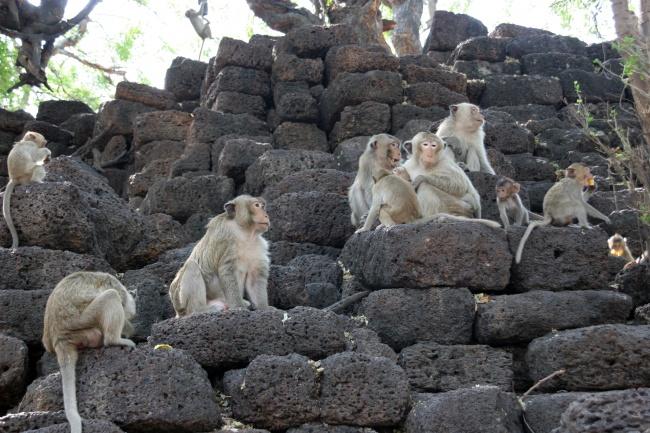 © wikipedia  ВТаиланде исоседних сним странах есть множество мест, облюбованных обезьянами.