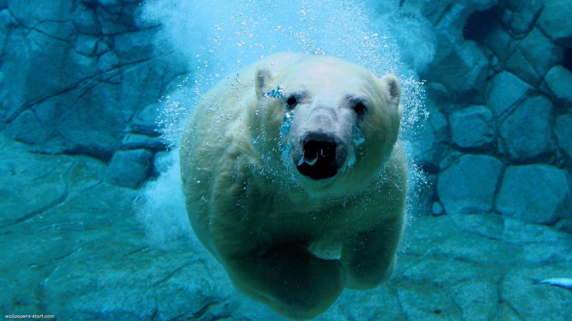 Международный день полярного медведя. Под водой открытки фото рисунки картинки поздравления