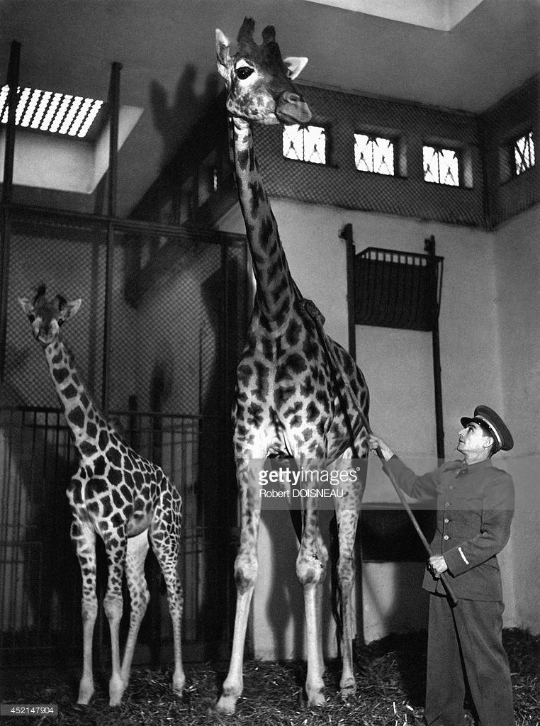 1943. Национальный музей естествознания. Зверинец ботанического сада. Мытье жирафа. Париж