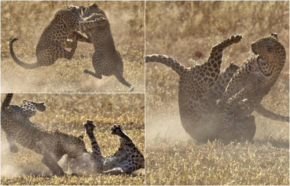 Схватка двух самок леопарда
