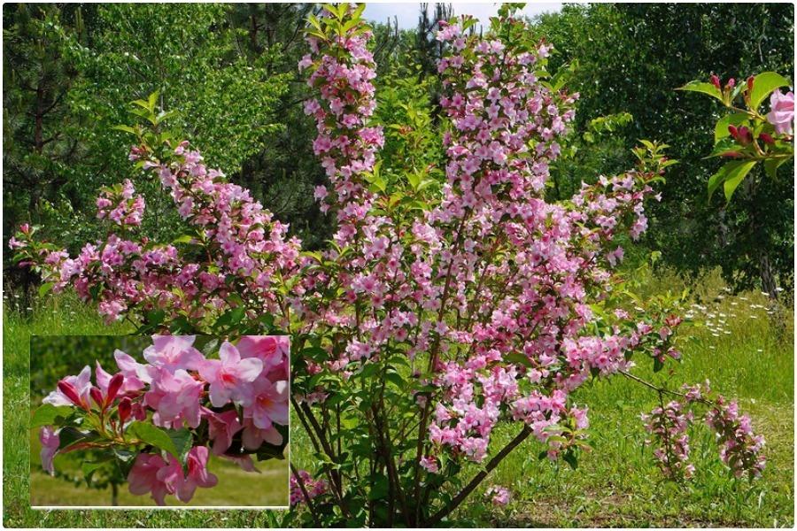 Самые эффектные кустарники, цветущие весной-вейгела