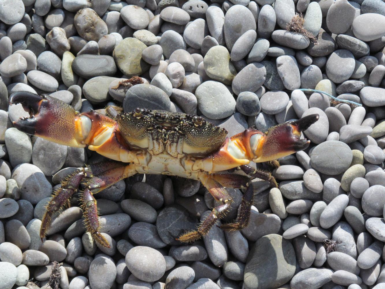 День Черного моря. Крабик на гальке