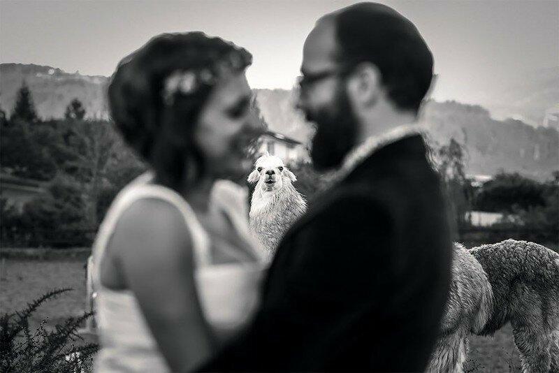 0 17af1f 636b663e XL - Курьезные свадебные фотографии с участием животных