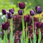 Night Tulip