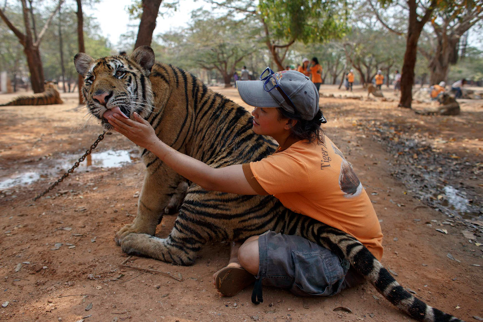 15. Полосатый хищник и волонтер. (Фото Athit Perawongmetha):