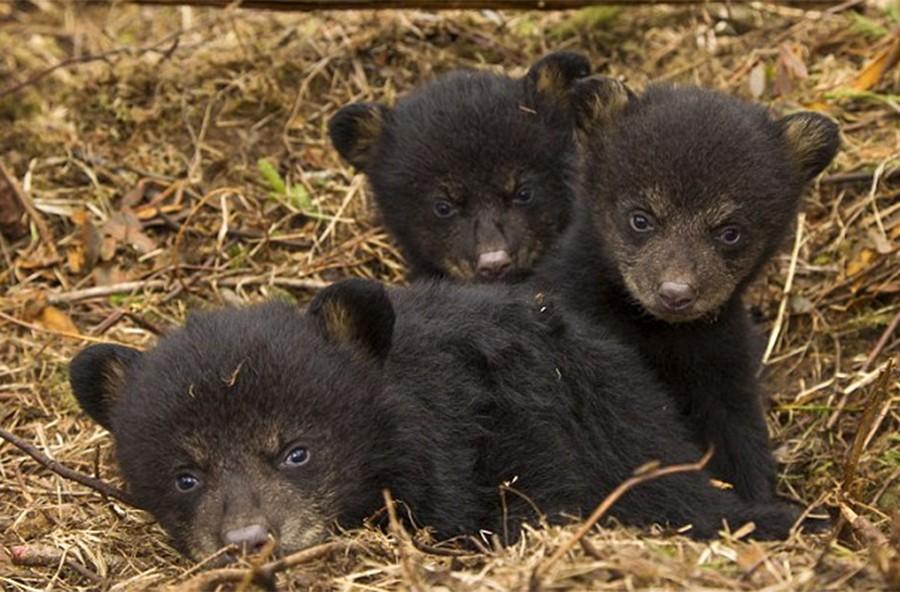2. Гималайские медведи вырастают до 150-170 см. Они вегетарианцы, из белковой пищи предпочитают мура