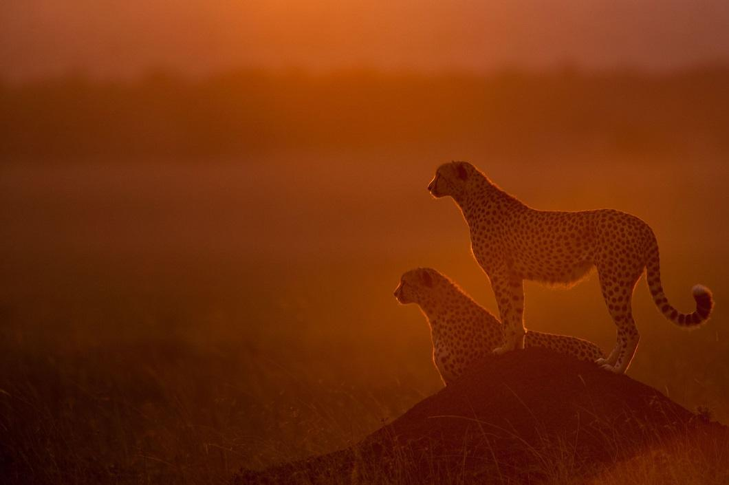 4. Гепарды на закате. (Фото: Пол Гольдштейн / Rex)