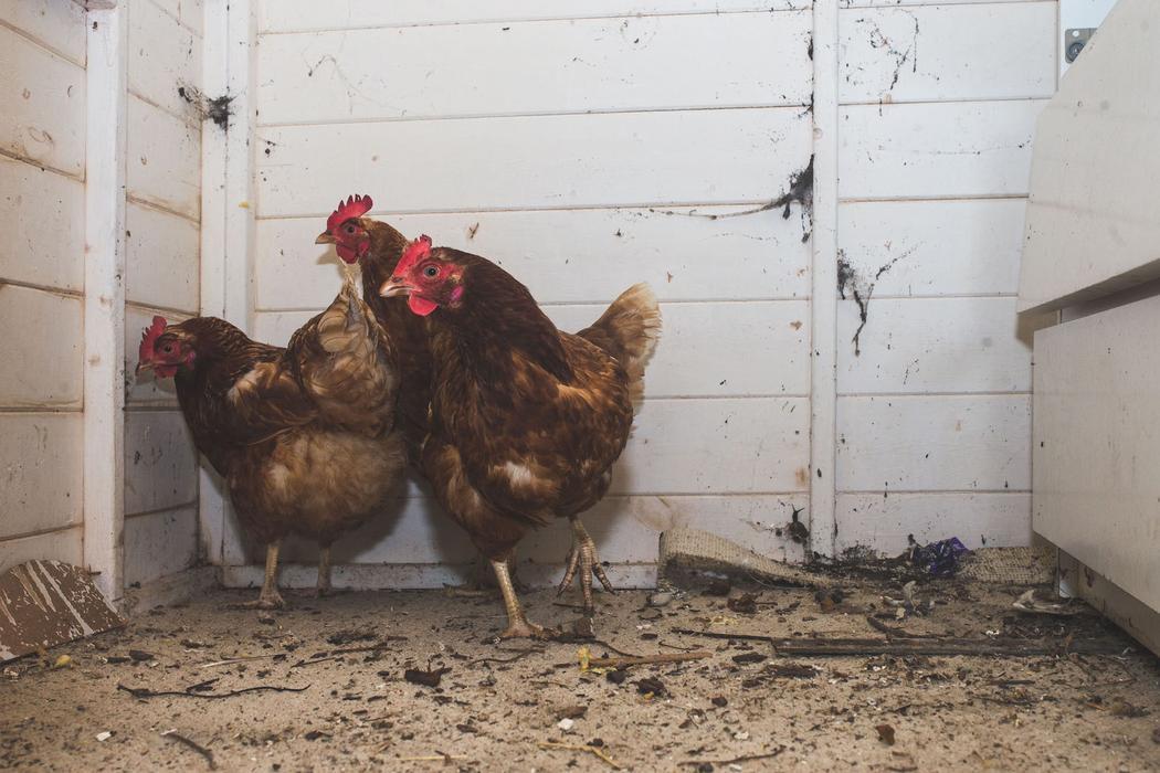 Не все получилось продумать: одна из посетительниц увидела в саду курицу, которую якобы должны были