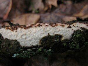 Виллеминия съедающая (Vuilleminia comedens)