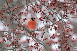 Снегирь на яблоне